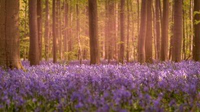 Tapis de fleurs au bois de Halle